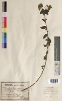 http://bibliotheque-virtuelle.clermont-universite.fr/files/fichiers_bcu/Euphorbia_verrucosa_MTBRIS1807.jpg