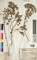 http://bibliotheque-virtuelle.clermont-universite.fr/files/fichiers_bcu/Euphorbia_segetalis_MTBRIS1809.jpg