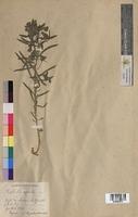 http://bibliotheque-virtuelle.clermont-universite.fr/files/fichiers_bcu/Euphorbia_segetalis_MTBRIS1810.jpg