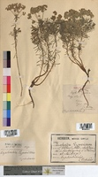 http://bibliotheque-virtuelle.clermont-universite.fr/files/fichiers_bcu/Euphorbia_cyparissias_MTBRIS1817.jpg