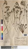 http://bibliotheque-virtuelle.clermont-universite.fr/files/fichiers_bcu/Euphorbia_cyparissias_MTBRIS1819.jpg