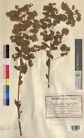 http://bibliotheque-virtuelle.clermont-universite.fr/files/fichiers_bcu/Euphorbia_sylvatica_MTBRIS1825.jpg