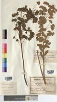 http://bibliotheque-virtuelle.clermont-universite.fr/files/fichiers_bcu/Euphorbia_sylvatica_MTBRIS1826.jpg