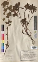 http://bibliotheque-virtuelle.clermont-universite.fr/files/fichiers_bcu/Euphorbia_sylvatica_MTBRIS1828.jpg