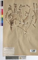 http://bibliotheque-virtuelle.clermont-universite.fr/files/fichiers_bcu/Euphorbia_terracina_MTBRIS1829.jpg