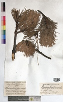 http://bibliotheque-virtuelle.clermont-universite.fr/files/fichiers_bcu/Pinus_montana_MTBRIS1852.jpg