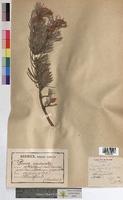 http://bibliotheque-virtuelle.clermont-universite.fr/files/fichiers_bcu/Pinus_uncinata_MTBRIS1853.jpg