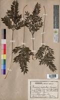 Ruscus aculeatus (Ruscaceae)