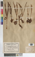 http://bibliotheque-virtuelle.clermont-universite.fr/files/fichiers_bcu/Bulbocodium_vernum_MTBRIS1887.jpg