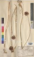 Allium sphaerocephalon (Alliaceae)