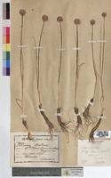Allium strictum (Alliaceae)