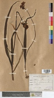 Allium album (Alliaceae)