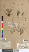 http://bibliotheque-virtuelle.clermont-universite.fr/files/fichiers_bcu/Carex_capillaris_MTBRIS1992.jpg