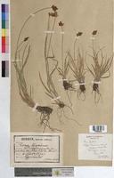http://bibliotheque-virtuelle.clermont-universite.fr/files/fichiers_bcu/Carex_leporina_MTBRIS2008.jpg