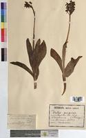 Orchis purpurea (Orchidaceae)