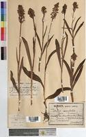 http://bibliotheque-virtuelle.clermont-universite.fr/files/fichiers_bcu/Orchis_maculata_MTBRIS2027.jpg