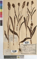 http://bibliotheque-virtuelle.clermont-universite.fr/files/fichiers_bcu/Orchis_maculata_MTBRIS2028.jpg