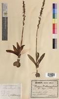 Aceras anthropophorum (Orchidaceae)