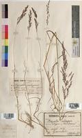Agrostis vulgaris (Poaceae)