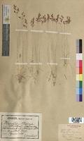Agrostis alpina (Poaceae)