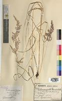 http://bibliotheque-virtuelle.clermont-universite.fr/files/fichiers_bcu/Calamagrostis_lanceolata_MTBRIS2100.jpg