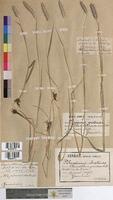 Alopecurus pratensis (Poaceae)