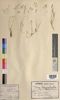 Aira caryophyllea (Poaceae)