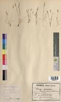 Aira praecox (Poaceae)