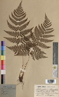 http://bibliotheque-virtuelle.clermont-universite.fr/files/fichiers_bcu/Polypodium_phegopteris_MTBRIS2227.jpg