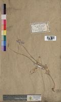 http://bibliotheque-virtuelle.clermont-universite.fr/files/fichiers_bcu/Pennisetum_ciliare_MTBRIS2310.jpg