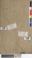 http://bibliotheque-virtuelle.clermont-universite.fr/files/fichiers_bcu/Vulpia_geniculata_MTBRIS2312.jpg