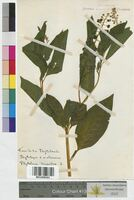 Phytolacca decandra (Phytolaccaceae)