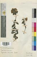 Euphorbia verrucosa (Euphorbiaceae)