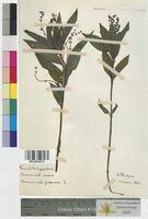 Mercurialis perennis (Euphorbiaceae)