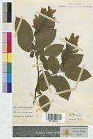 http://bibliotheque-virtuelle.clermont-universite.fr/files/fichiers_bcu/Carpinus_betulus_MTLUCO0016.jpg