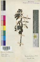 Salix alba (Salicaceae)