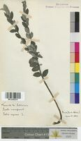 Salix repens (Salicaceae)