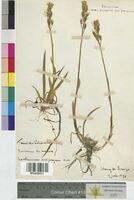 Narthecium ossifragum (Melanthiaceae)