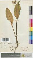 Allium ursinum (Alliaceae)