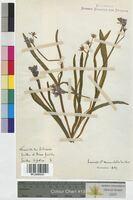Scilla bifolia (Hyacinthaceae)