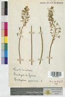 Ornithogalum pyrenaicum (Hyacinthaceae)
