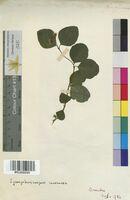 Symphoricarpos racemosus (Caprifoliaceae)