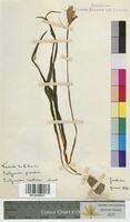 Endymion nutans (Hyacinthaceae)
