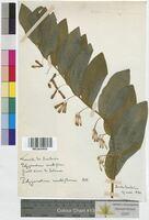 Polygonatum multiflorum (Convallariaceae)