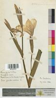 Iris pseudacorus (Iridaceae)