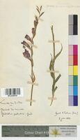 http://bibliotheque-virtuelle.clermont-universite.fr/files/fichiers_bcu/Gladiolus_palustris_MTLUCO0038.jpg