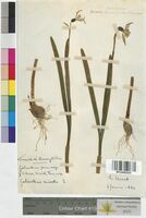 Galanthus nivalis (Amaryllidaceae)