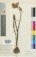 Narcissus pseudonarcissus (Amaryllidaceae)
