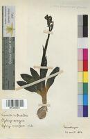 Ophrys aranifera (Orchidaceae)