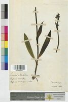 Ophrys muscifera (Orchidaceae)
